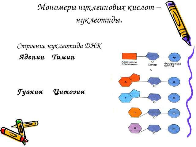 Мономеры нуклеиновых кислот – нуклеотиды. Строение нуклеотида ДНК Аденин Тими...