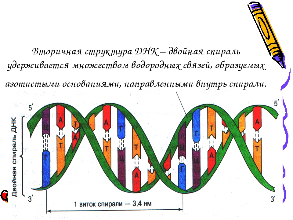 Вторичная структура ДНК – двойная спираль удерживается множеством водородных...