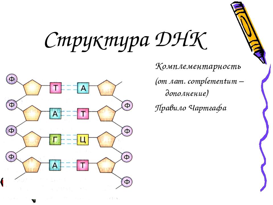 Структура ДНК Комплементарность (от лат. complementum – дополнение) Правило Ч...