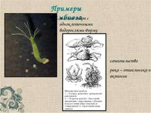 Примеры симбиоза сожительство рака – отшельника и актинии зелёная гидра с одн