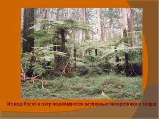 Из вод болот и озер поднимаются различные папоротники и хвощи