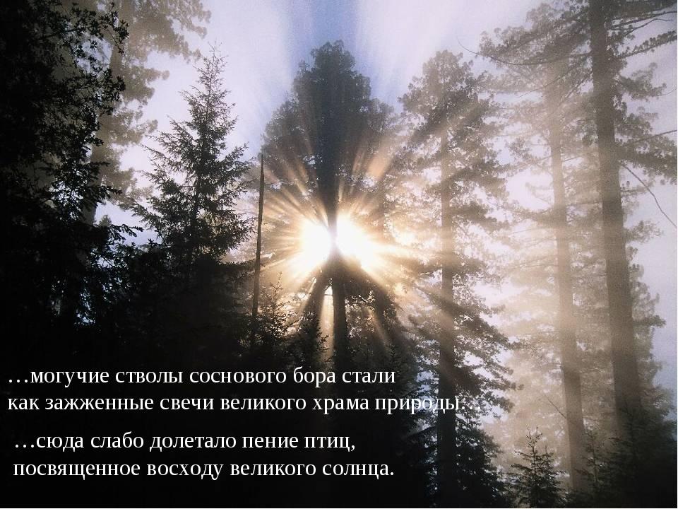 …могучие стволы соснового бора стали как зажженные свечи великого храма приро...
