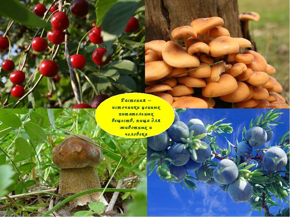 Растения – источники ценных питательных веществ, пища для животных и человека