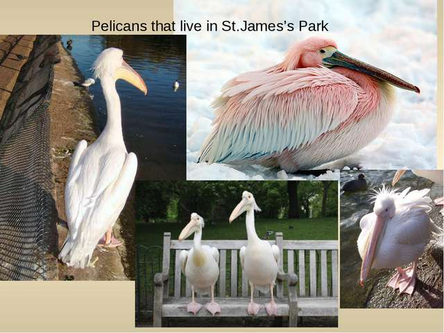 Pelicans that live in St.James's Park