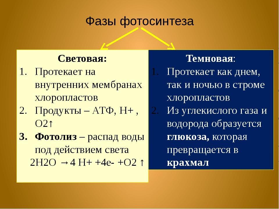 Фазы фотосинтеза Световая: Протекает на внутренних мембранах хлоропластов Про...