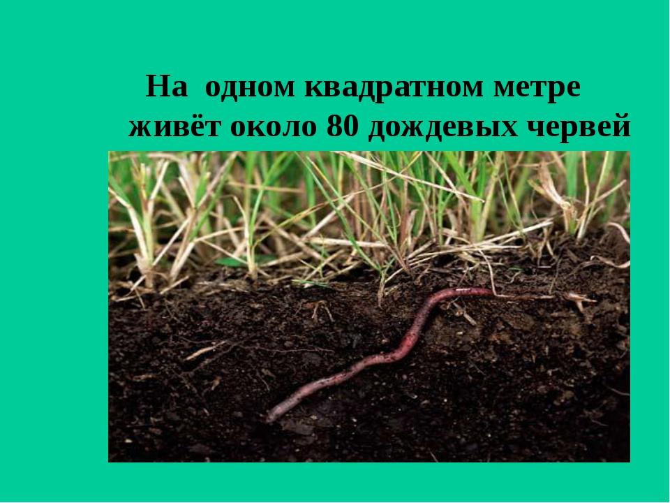 На одном квадратном метре живёт около 80 дождевых червей
