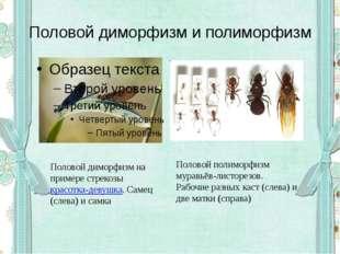 Половой диморфизм и полиморфизм Половой диморфизм на примере стрекозыкрасотк