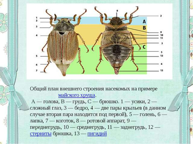 Общий план внешнего строения насекомых на примере майского хруща. А— голова,...