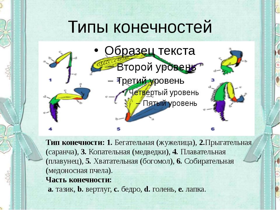 Типы конечностей Тип конечности:1.Бегательная (жужелица),2.Прыгательная (с...
