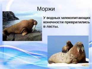 Моржи У водных млекопитающих конечности превратились в ласты.