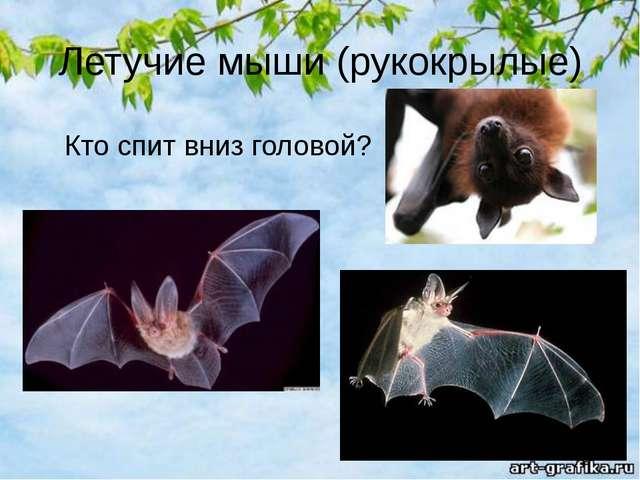 Летучие мыши (рукокрылые) Кто спит вниз головой?