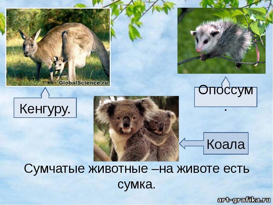 Сумчатые животные –на животе есть сумка. Кенгуру. Опоссум. Коала