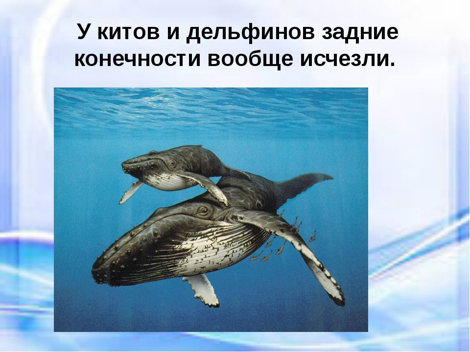 У китов и дельфинов задние конечности вообще исчезли.