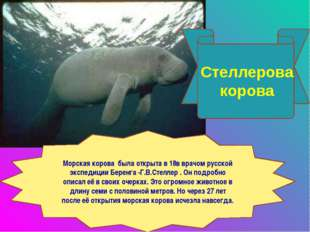 Стеллерова корова Морская корова была открыта в 18в врачом русской экспедиции