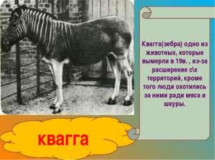 квагга Квагга(зебра) одно из животных, которые вымерли в 19в. , из-за расшире