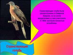 Странствующий голубь Странствующие голуби были распространены в Северной Аме