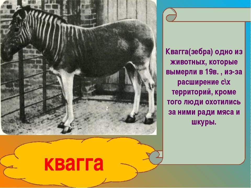 квагга Квагга(зебра) одно из животных, которые вымерли в 19в. , из-за расшире...