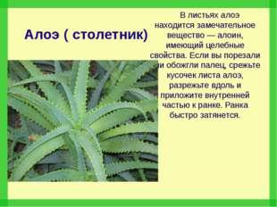 Алоэ ( столетник) В листьях алоэ находится замечательное вещество — алоин, им