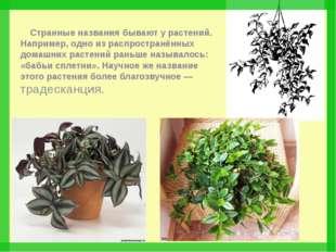 Странные названия бывают у растений. Например, одно из распространённых дома