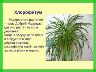 Хлорофитум Родина этого растения — мыс Доброй Надежды, где оно растёт на кор