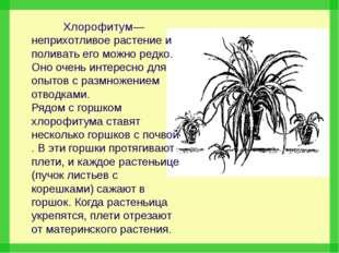 Хлорофитум— неприхотливое растение и поливать его можно редко. Оно очень инт