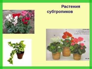 Растения субтропиков Цикламен Плющ Пеларгония (герань)