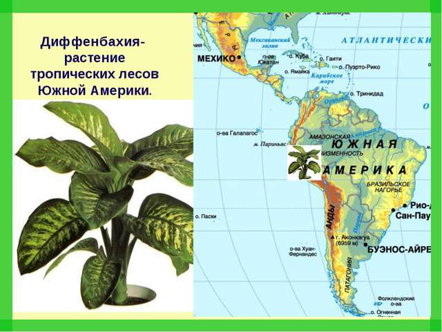 Диффенбахия- растение тропических лесов Южной Америки.