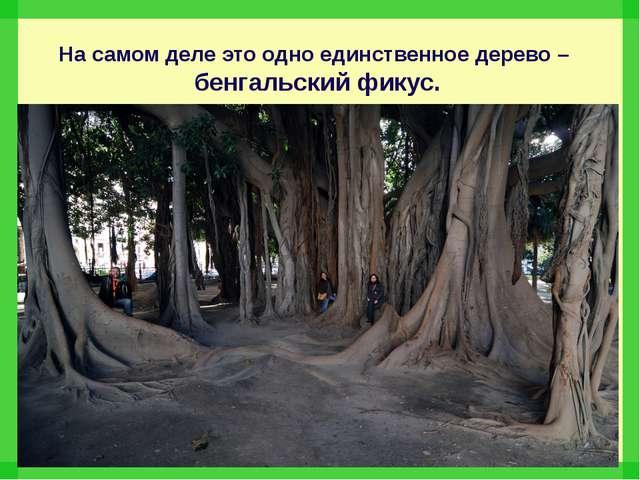 На самом деле это одно единственное дерево – бенгальский фикус.