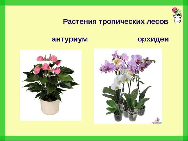 Растения тропических лесов антуриум орхидеи