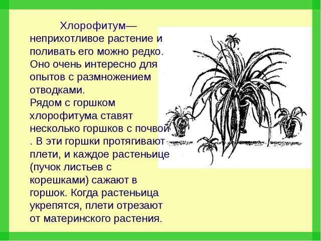 Хлорофитум— неприхотливое растение и поливать его можно редко. Оно очень инт...