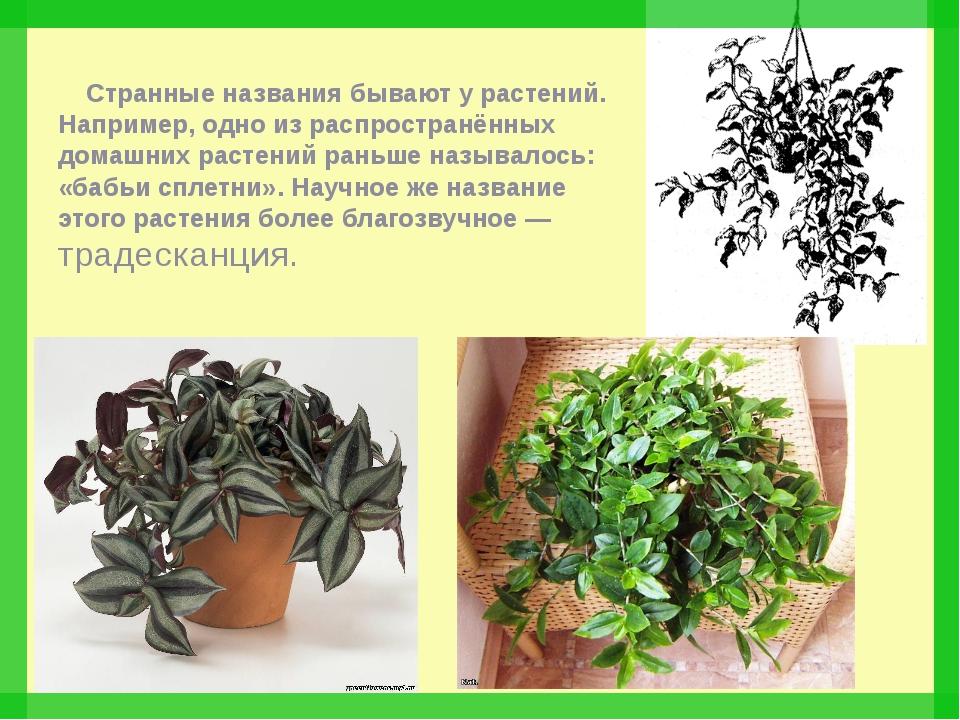 Странные названия бывают у растений. Например, одно из распространённых дома...