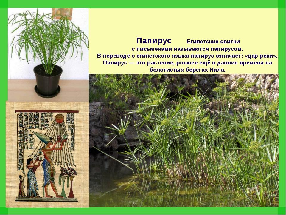 Папирус Египетские свитки с письменами называются папирусом. В переводе с ег...