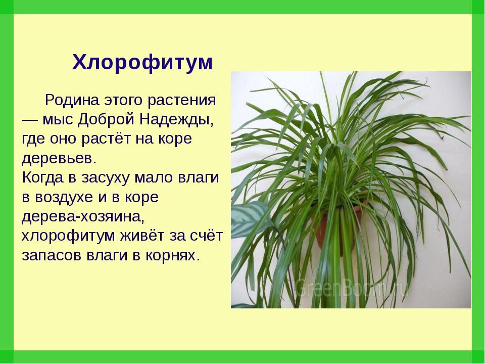 Хлорофитум Родина этого растения — мыс Доброй Надежды, где оно растёт на кор...
