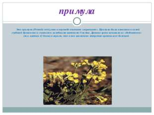 Это примула (Primula veris),что в переводе означает «первоцвет». Примулы был