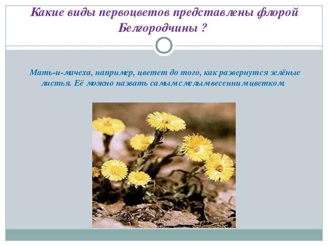 Какие виды первоцветов представлены флорой Белгородчины ? Мать-и-мачеха, нап...