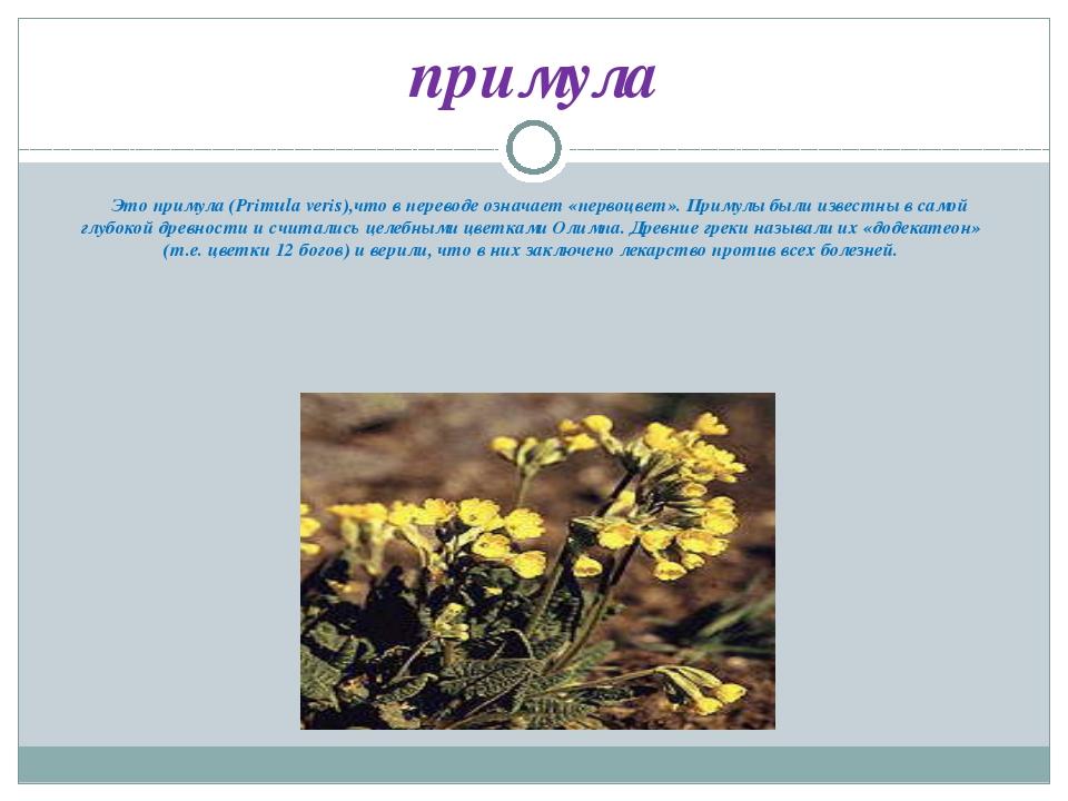 Это примула (Primula veris),что в переводе означает «первоцвет». Примулы был...