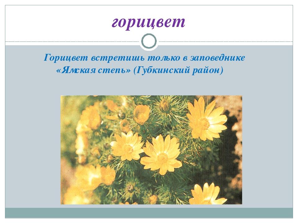 горицвет Горицвет встретишь только в заповеднике «Ямская степь» (Губкинский р...