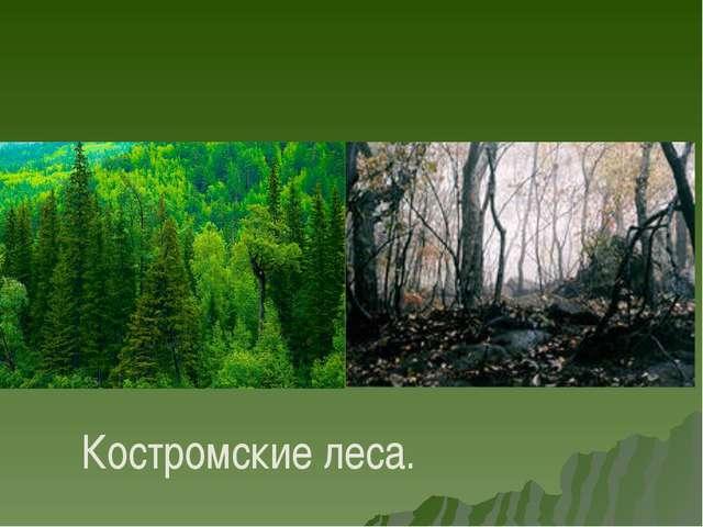 Костромские леса.