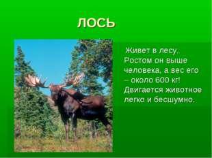 ЛОСЬ Живет в лесу. Ростом он выше человека, а вес его – около 600 кг! Двигае