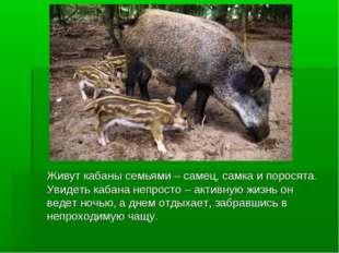 Живут кабаны семьями – самец, самка и поросята. Увидеть кабана непросто – ак
