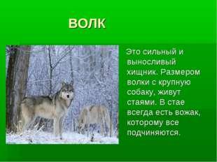 ВОЛК Это сильный и выносливый хищник. Размером волки с крупную собаку, живут
