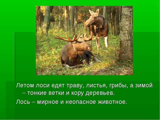 Летом лоси едят траву, листья, грибы, а зимой – тонкие ветки и кору деревьев...