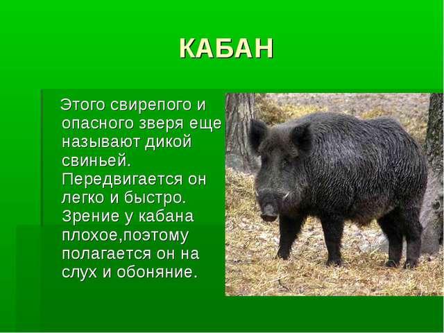 КАБАН Этого свирепого и опасного зверя еще называют дикой свиньей. Передвигае...