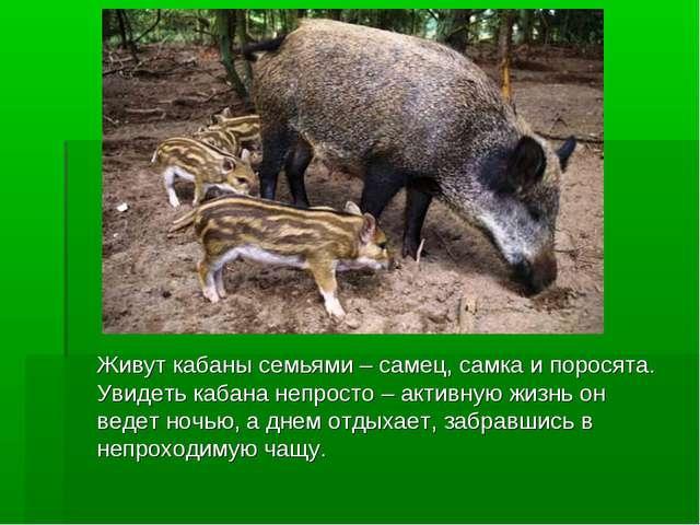Живут кабаны семьями – самец, самка и поросята. Увидеть кабана непросто – ак...
