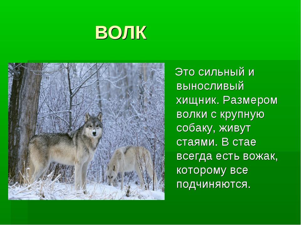 ВОЛК Это сильный и выносливый хищник. Размером волки с крупную собаку, живут...