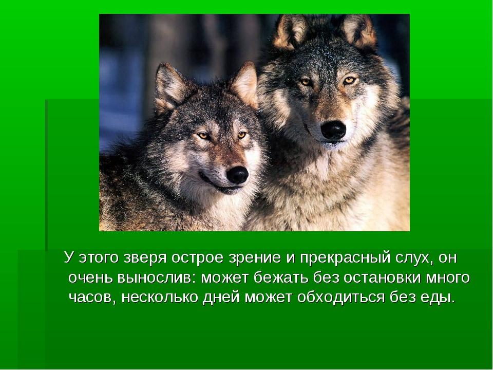 У этого зверя острое зрение и прекрасный слух, он очень вынослив: может бежа...