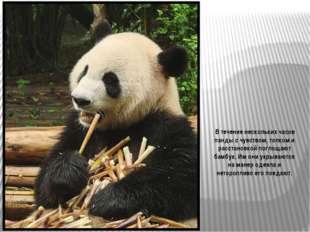 Большую панду также называют бамбуковым медведем. Родиной его является центра