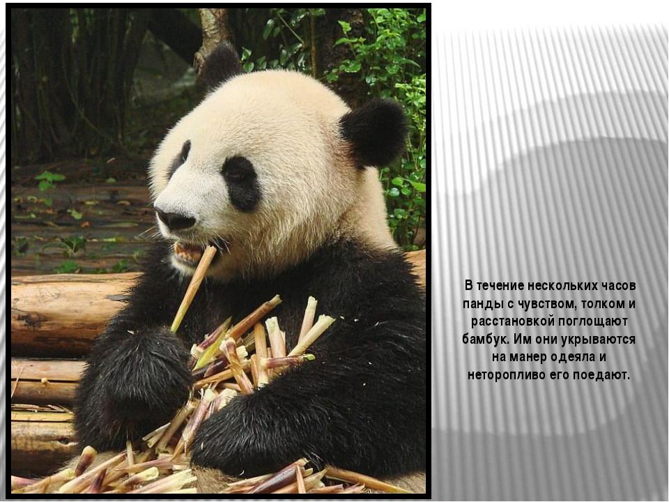 Большую панду также называют бамбуковым медведем. Родиной его является центра...
