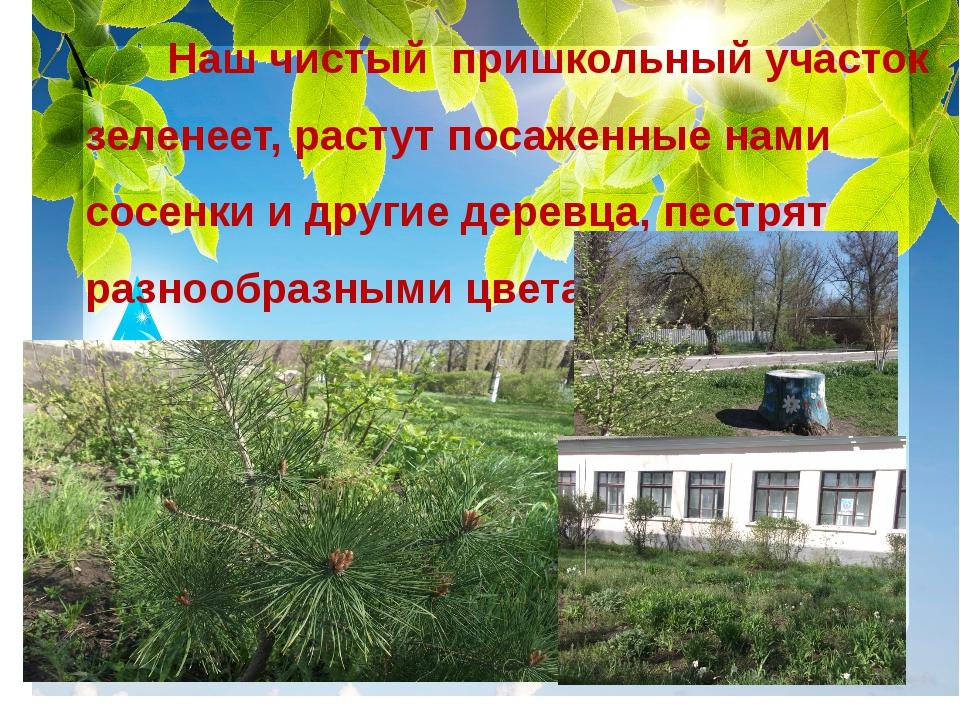 Наш чистый пришкольный участок зеленеет, растут посаженные нами сосенки и др...