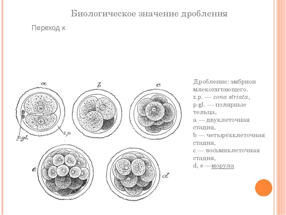 Биологическое значение дробления Дробление: эмбрион млекопитающего. z.p.—zo...
